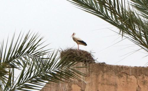 La cigogne de Marrakech !